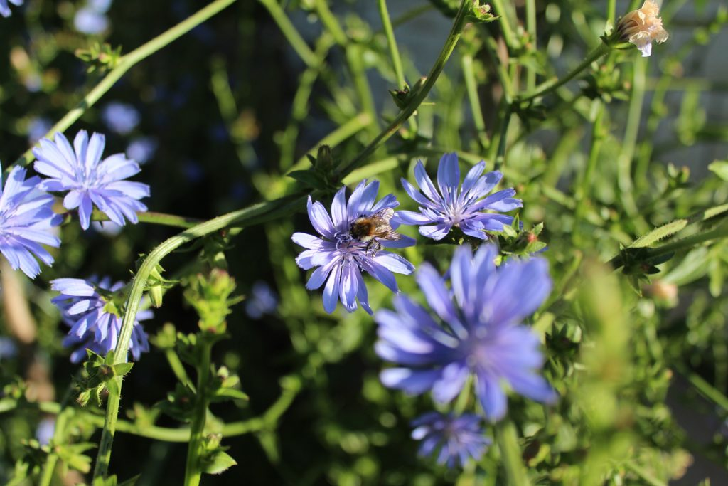 chicory palla rossa seed saving bee beekeeping honey bearing plants