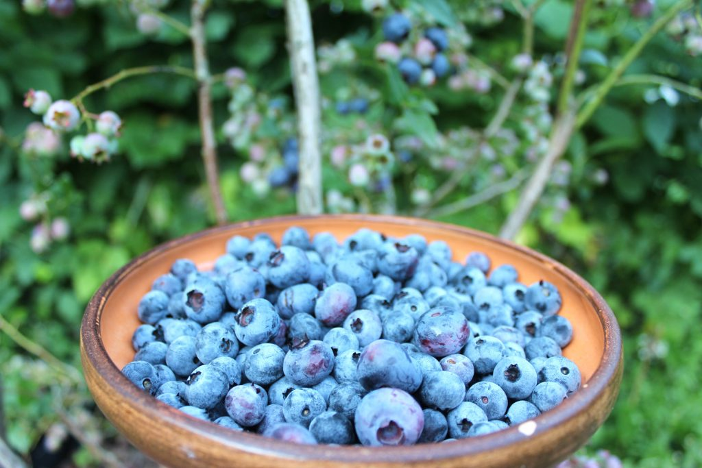 blueberry shrub harvest grow blueberries in gaden