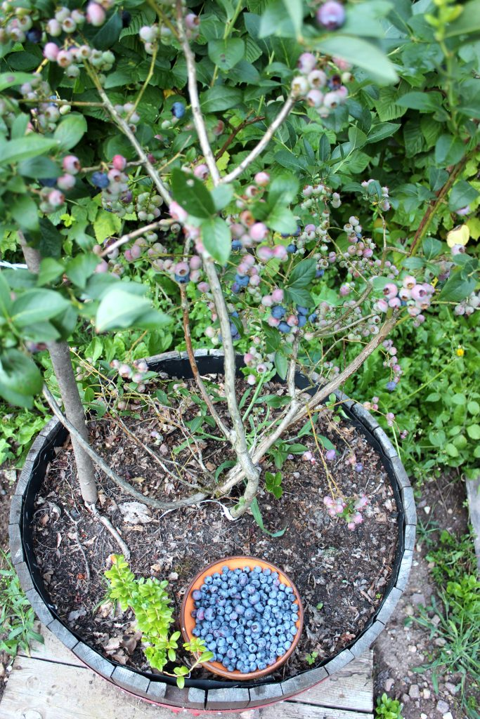 blueberry in pot grown how to grow plant