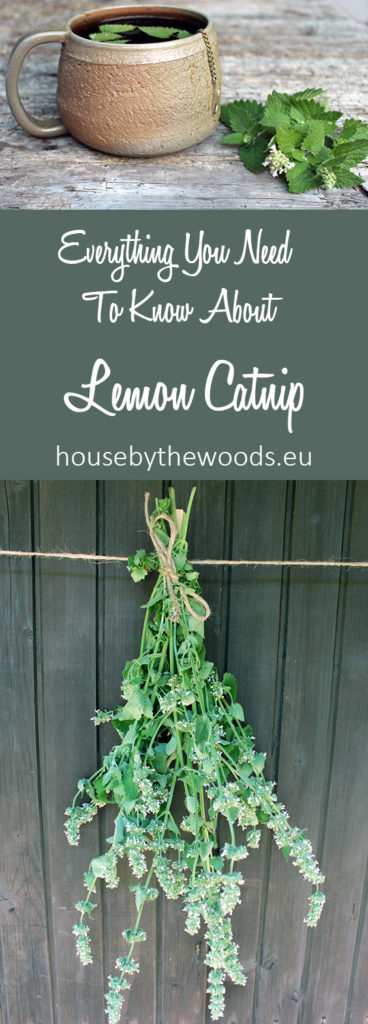 Everything your need to konw about lemon catnip: how to grow, harvest, store and use it!