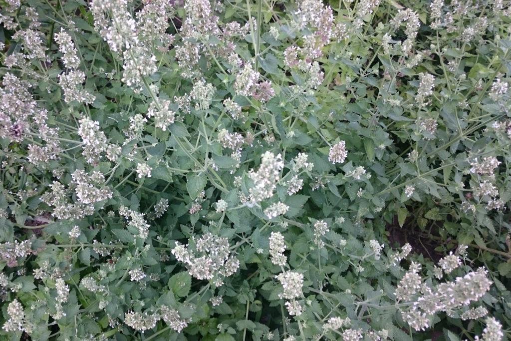 lemon catnip flower blossom herb use grow