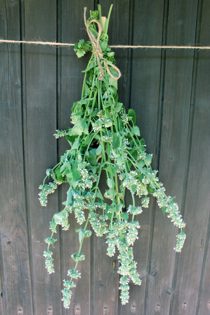 lemon catnip harvest drying storage use herb