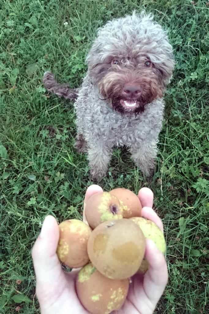 lagotto romagnolo dog pear harvest