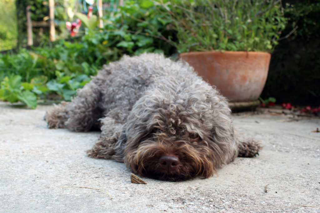 lagotto romagnolo dog italian water dog hund
