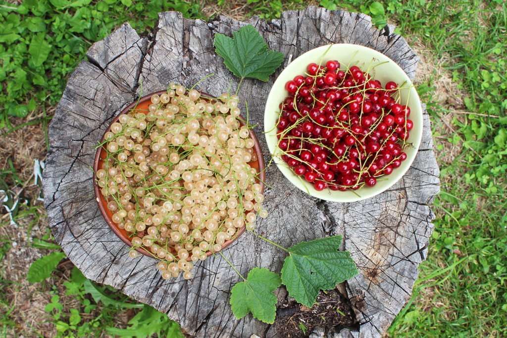 redcurrant whitecurrant how to grow prune use home garden
