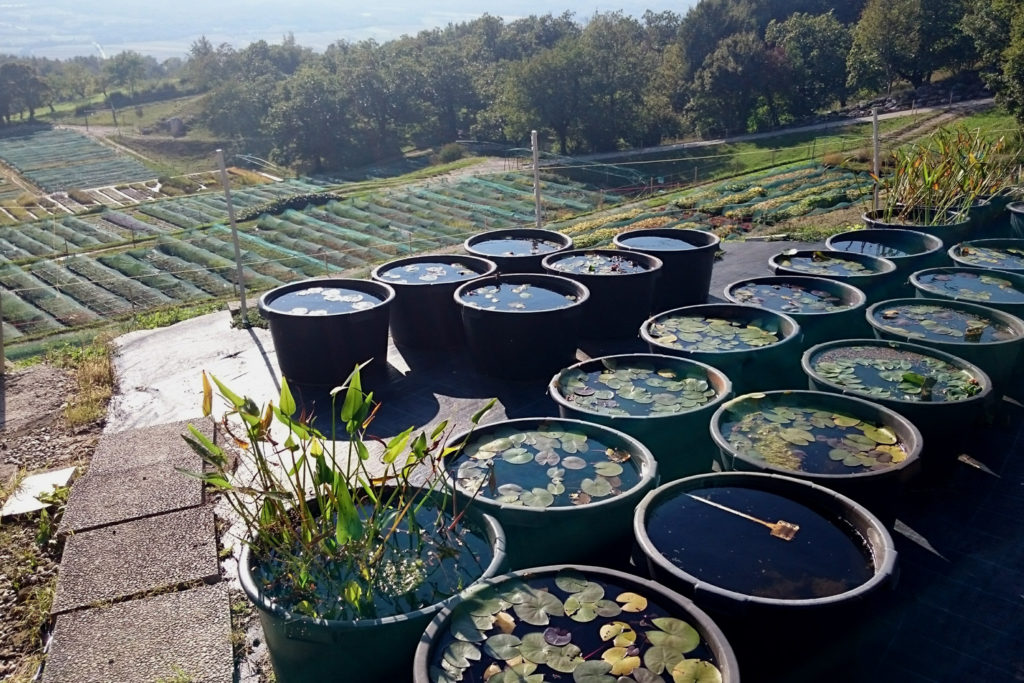 perennial nursery water plants for sale europe