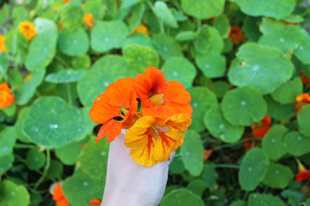 nasturtium edible flowers self-sufficiency house by the woods